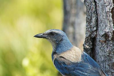 Photograph - Florida Scrub Jay On Tree Trunk 2 by Lynda Dawson-Youngclaus