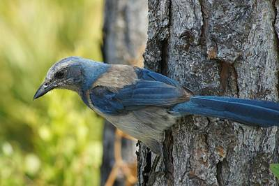 Photograph - Florida Scrub Jay On Tree Trunk by Lynda Dawson-Youngclaus