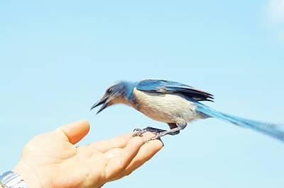 Photograph - Florida Scrub Jay Takes A Taste by Lynda Dawson-Youngclaus