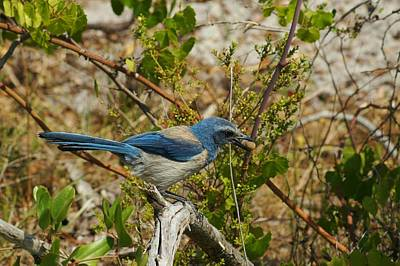 Photograph - Florida Scrub Jay With Acorn by Lynda Dawson-Youngclaus