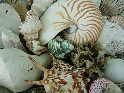 Florida Sea Shells Art Print