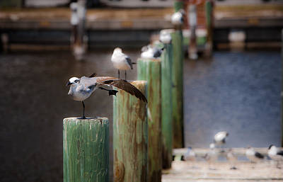 Photograph - Florida Seagull Playing by Jason Moynihan