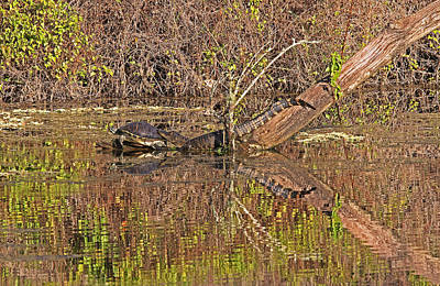 Reptiles Royalty-Free and Rights-Managed Images - Florida Siesta  by Juergen Roth