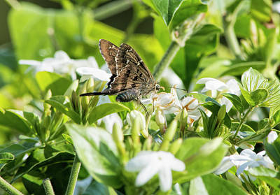 Photograph - Florida Skipper On White Flowers by William Tasker