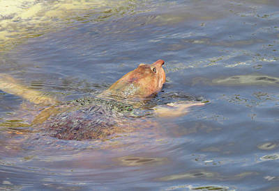 Photograph - Florida Softshell Turtle by Rosalie Scanlon
