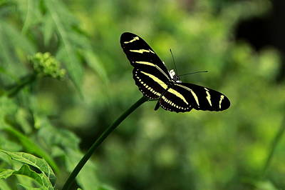 Photograph - Florida State Butterfly by Greg Allore