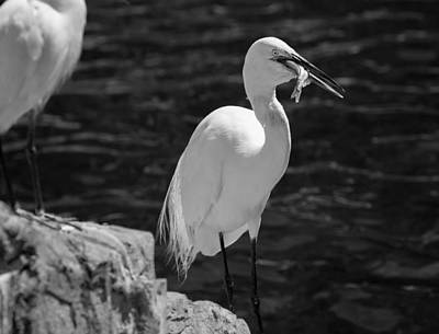 Florida White Egret Art Print