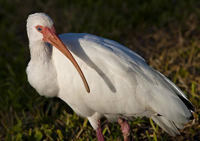 Kim Fearheiley Photography - FLORIDA WHITE IBIS  Eudocimus albus by Allan  Hughes