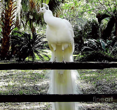 Photograph - Florida - White - Peacock by D Hackett