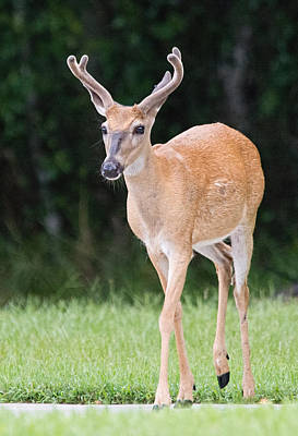 Photograph - Florida Whitetail Buck Deer With Velvet by John Black