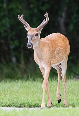Photograph - Florida Whitetail Buck Deer With Velvet by John Black