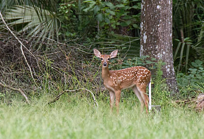 Photograph - Florida Whitetail Spotted Fawn by John Black
