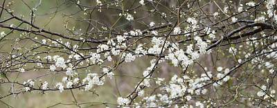 Photograph - Florida Wild Plum Blossoms by rd Erickson