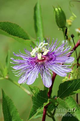 Photograph - Florida Wildflower - Purple Passionflower by Carol Groenen