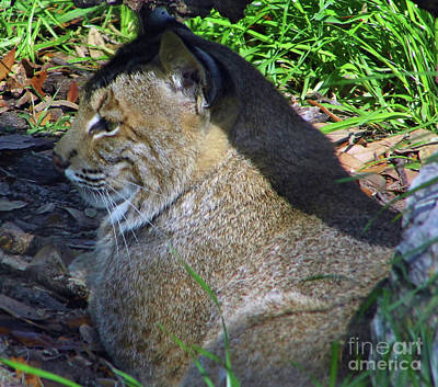 Photograph - Florida's Other Big Cat by D Hackett