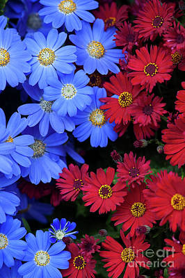 Photograph - Florists Cineraria Flowers by Tim Gainey