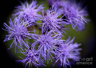 Photograph - Floss Flower Ageratum by Karen Adams