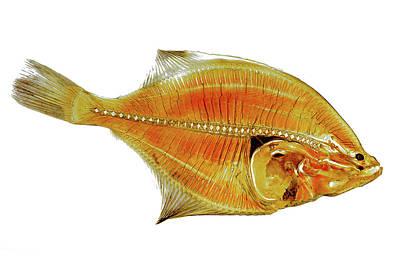 Flounder Fish Anatomical Section 30178 Original