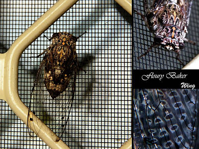Photograph - Floury Baker Cicada  by Miroslava Jurcik