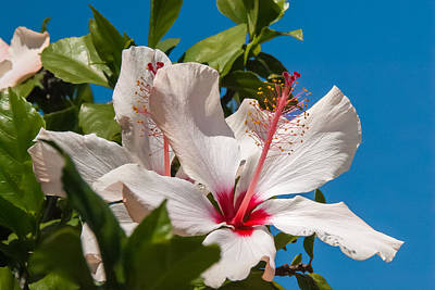 Photograph - Hibiscus by Pamela Williams