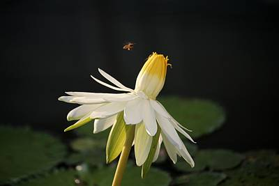 Photograph - Flower And Bee In Singapore by Diane Height