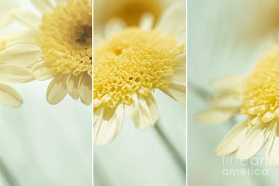 Flower Arrangement - Marguerite Daisies Art Print