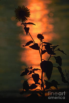 Photograph - Flower At Sunset by Granger