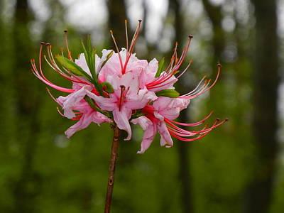 Photograph - Flower B On Maryland Appalachian Trail by Raymond Salani III