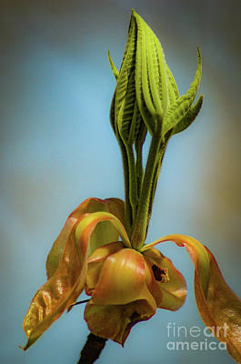 Photograph - Flower Bud_070428_032a by Donna Sizemore