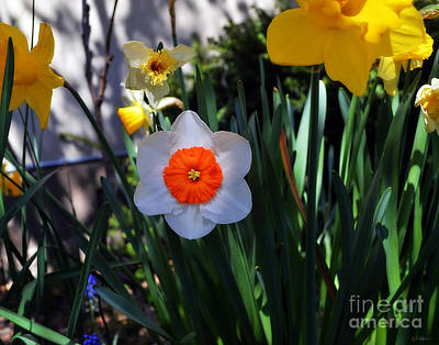 Photograph - Flower Button by Michael Soaries