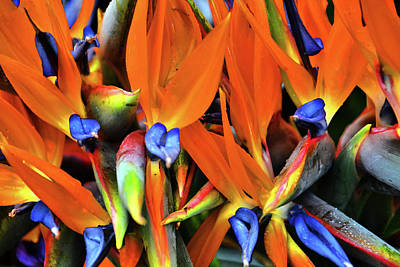 Flower Carpet. Strelitzia.  Madeira.  Original