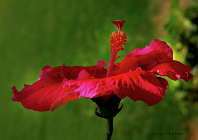 Photograph - Flower by Chaza Abou El Khair