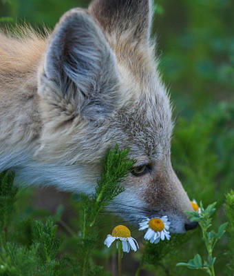 Photograph - Flower Child  by Kevin  Dietrich