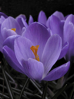 Photograph - Flower Crocus by Nancy Griswold