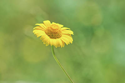 Photograph - Flower Daisy by Paulo Goncalves