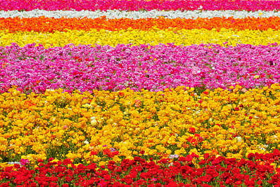 Flower Fields Carlsbad Ca Giant Ranunculus Art Print by Christine Till