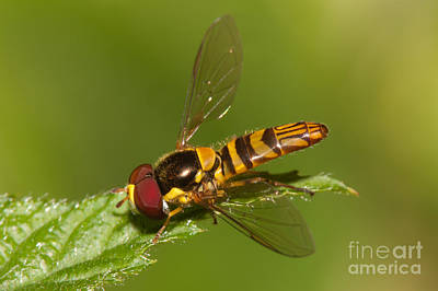 Insects Photograph - Flower Fly Allograpta Obliqua by Clarence Holmes