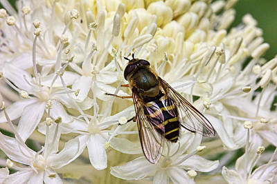 Photograph - Flower Fly On Bear Grass Flower by Josh Bryant