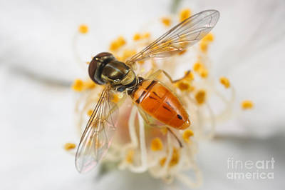 Photograph - Flower Fly Toxomerus Marginatus by Clarence Holmes