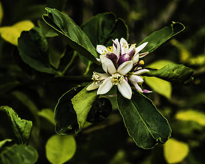 Photograph - Flower Of The Lemon Tree by Chris Coffee