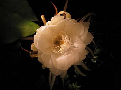 Photograph - Flower Of The Night 01 by Andrea Jean