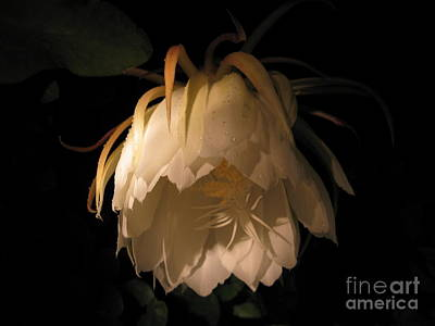 Photograph - Flower Of The Night 02 by Andrea Jean