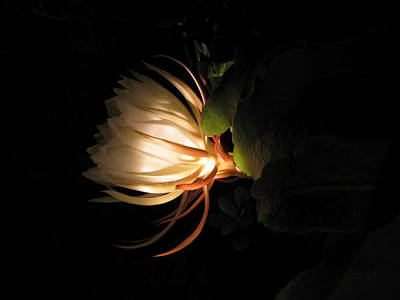 Photograph - Flower Of The Night 03 by Andrea Jean