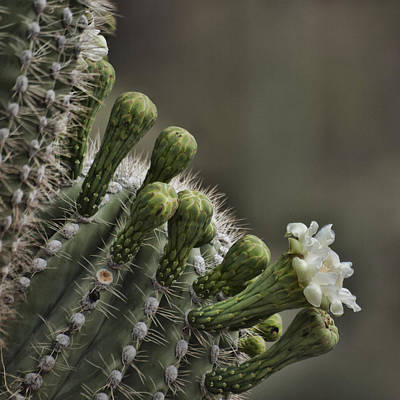 Flower Of The Saguaro Art Print