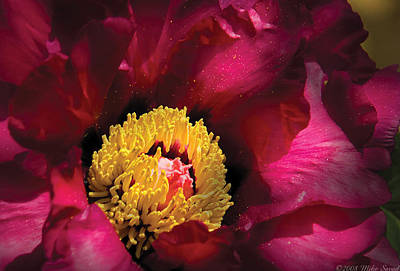 Savad Photograph - Flower - Peony by Mike Savad