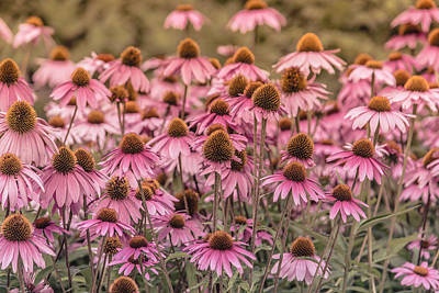Coneflower Photograph - Flower - Pink Coneflowers - Summertime Memories by Black Brook Photography