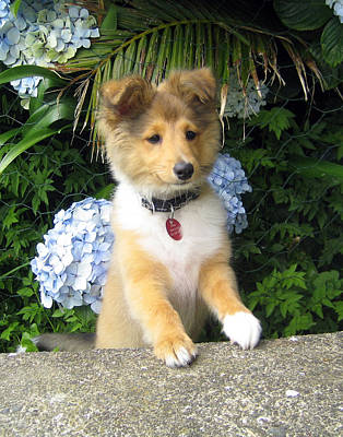 Miniature Collie Photograph - Flower Puppy by Sheltie Planet
