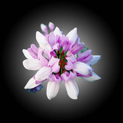 Photograph - Flower  Securigera Varia by Mike Breau