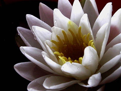 Photograph - Flower Waterlily by Nancy Griswold