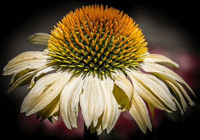 Coneflower Photograph - Flower - Yellow Coneflower - Brilliant Blossom - Macro by Black Brook Photography